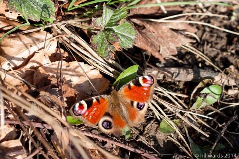 Peacock butterfly basking in spring sunshine