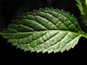 leaf pudina-kmsraj51