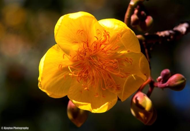 Silk Cotton tree flower - Ajaytao
