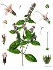 पिपरमिंट (Peppermint) -