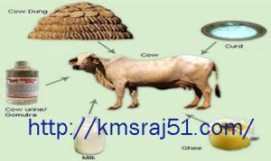 Cow - kmsraj51