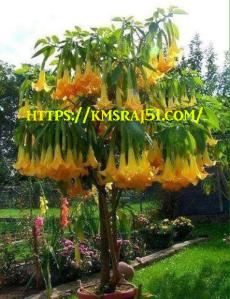 Flowers-kmsraj51
